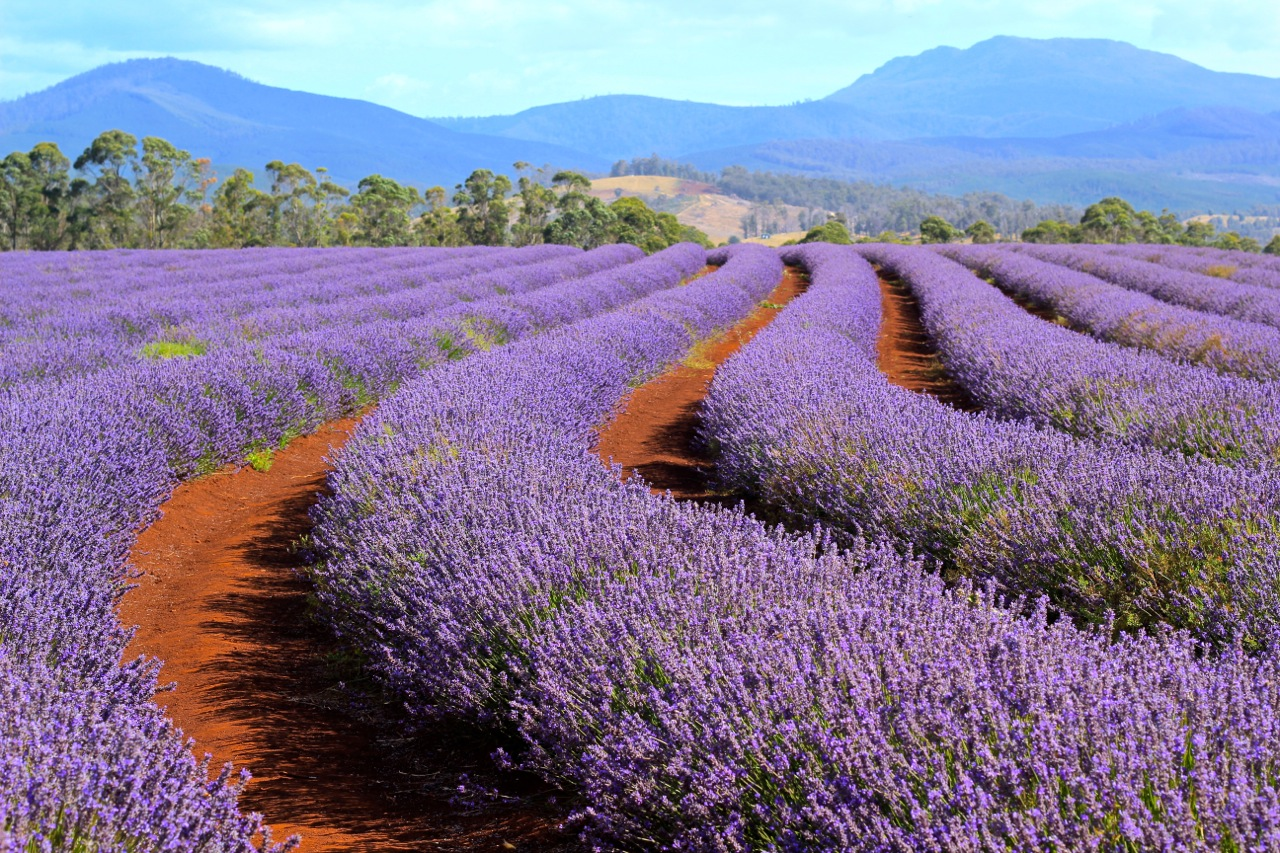Bridestowe_Lavender_Estate