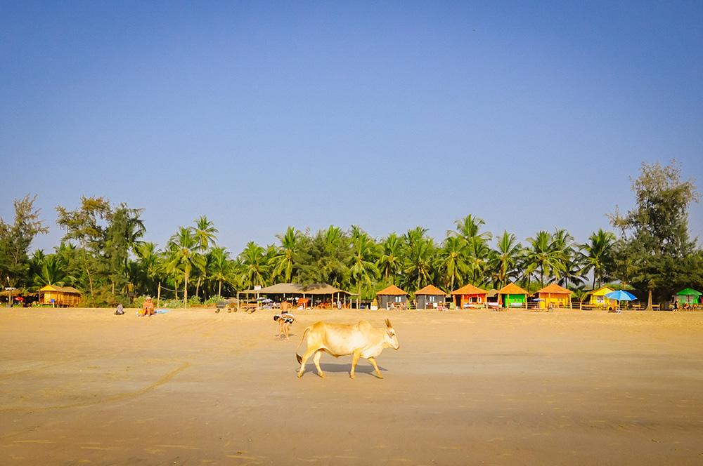 Goa, Cow