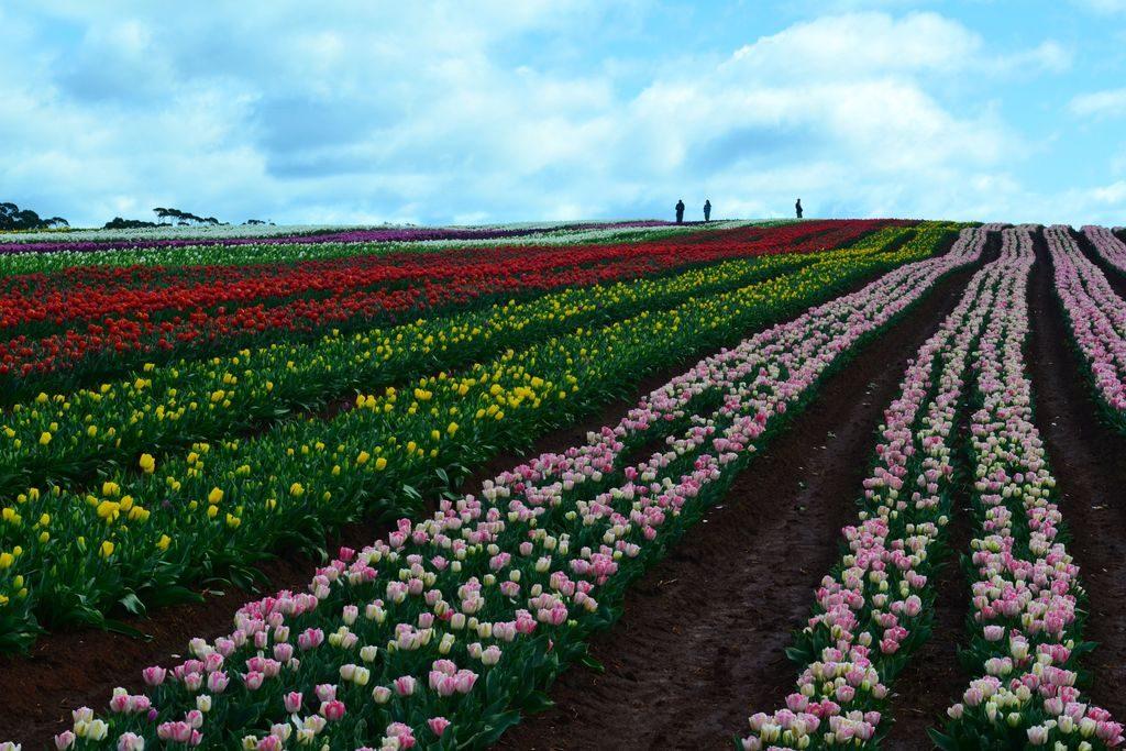 Bloomin Tulips Festival