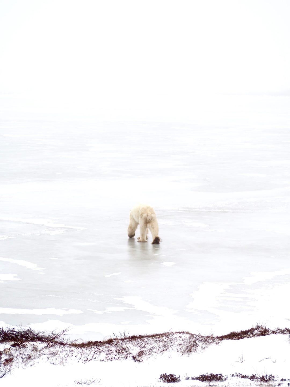 Polar_Bear_Capital_of_the_World