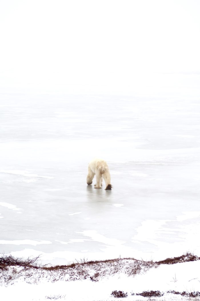 Visiting the Polar Bear Capital of the World